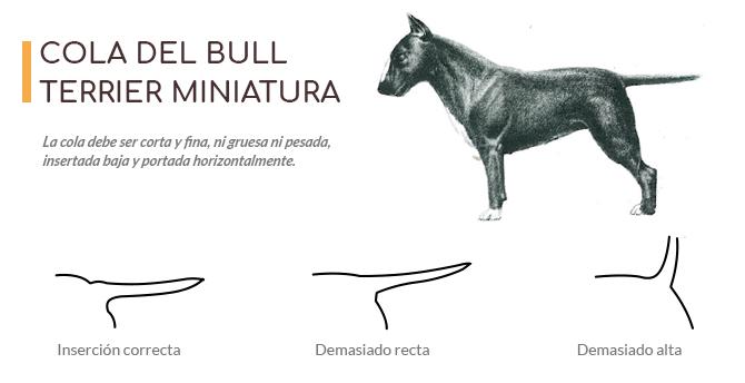 Imágen con la forma correcta de la cola que deben tener los Bull Terrier miniatura