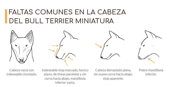 Imagen con las faltas más comunes en la forma de la cabeza de un Bull Terrier miniatura