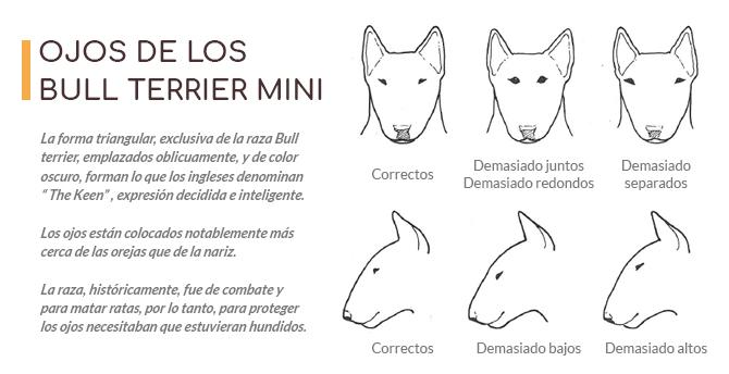 Imágen con la forma de los ojos que deben tener los Bull Terrier Miniatura