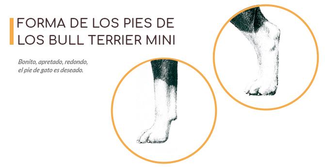 Imágen con la forma correcta de los pies que deben tener los Bull Terrier miniatura