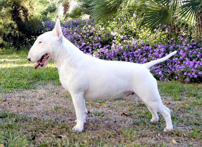 Estandar de la raza de perros Bull Terrier Miniatura